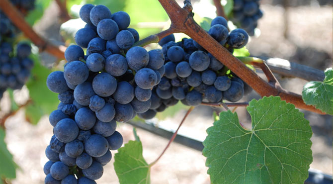 Gamay wine red type